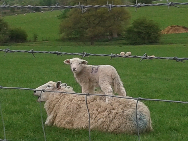 Even Lamb Moms Get the Blues